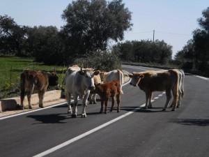 bovini sulla strada, 15.3.2012